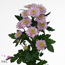 Chrysant spr. optimist