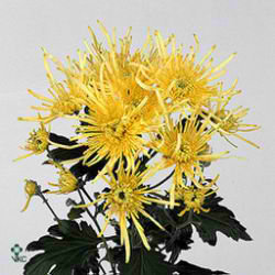 Chrysant spr. Yellow Spider