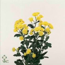 Chrysant spr. stallion yellow