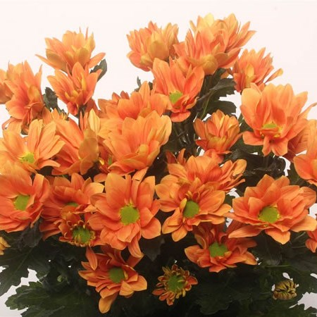 CHRYSANT SPR. grand orange