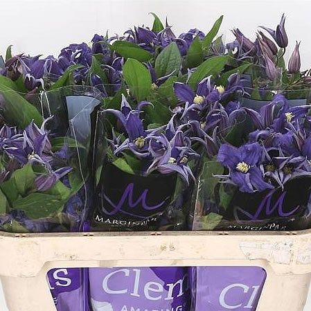 Clematis Blue Pirouette