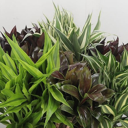 Cordyline Compacta Mix