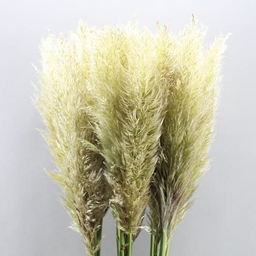Cortaderia (Pampas Grass Dried)