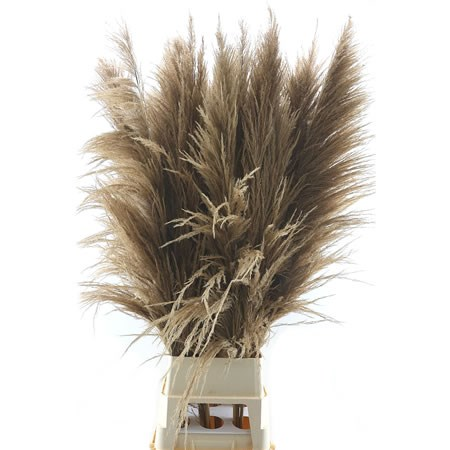 Cortaderia Pampas Grass Natural Brown Super