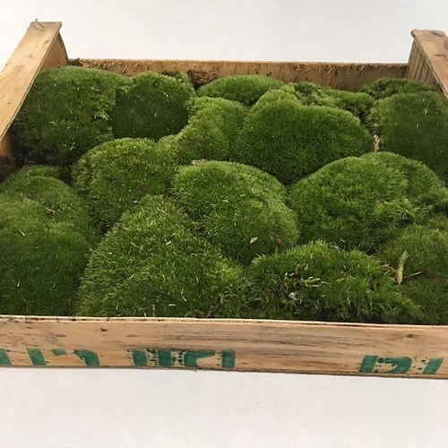 Cushion Moss (Bunn Moss) in Wooden Crate