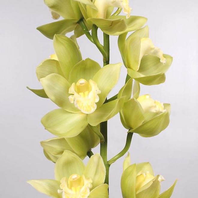 Cymbidium Orchid mint ice