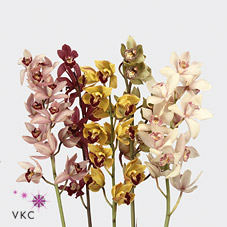Cymbidium Orchid mini mix - 60cm (May Vary to Image)