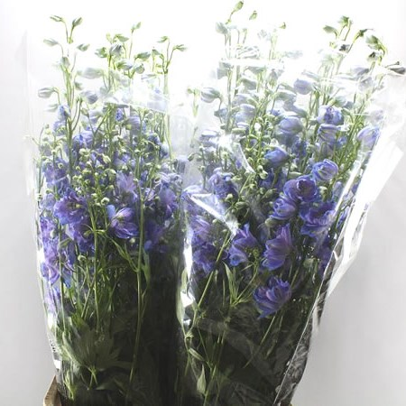 DELPHINIUM DELPHIS MOONLIGHT