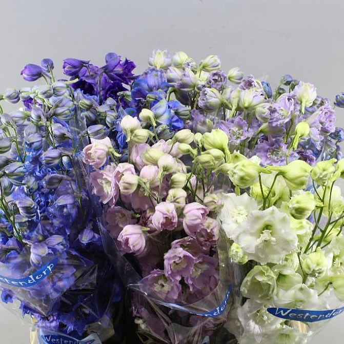 DELPHINIUM KISSI MIX