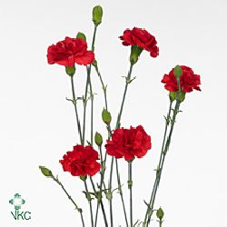 Carnation spr. Brunello