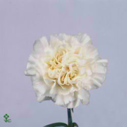 Carnation White Liberty