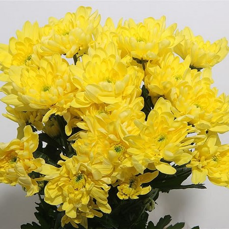A1 Chrysant Double Yellow