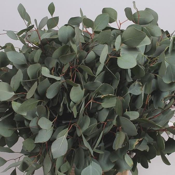 Eucalyptus Populus 70cm Wholesale Dutch Flowers