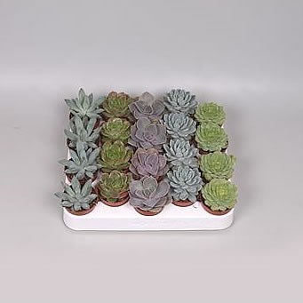 Echeveria Plants Winco Mix (20s)