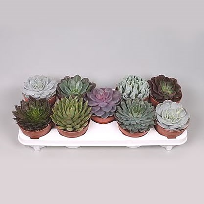 Echeveria Plants Winco Mix (9s)