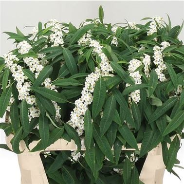 Euphorbia White Wholesale Flowers Uk Wedding Flowers Triangle