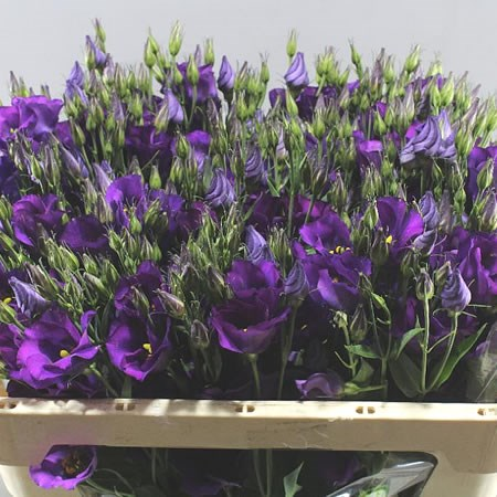 Eustoma Lisianthus Colorado Purple