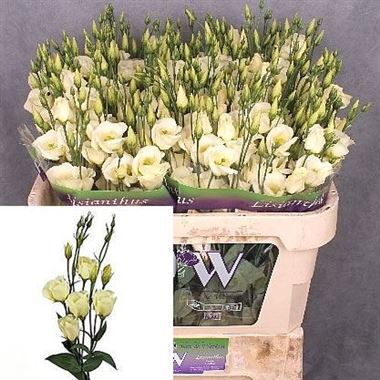 Eustoma Lisianthus Piccolo Yellow