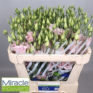 Eustoma Lisianthus dbl. Corelli Light Pink