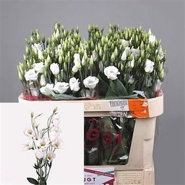 Eustoma Lisianthus Piccolo White