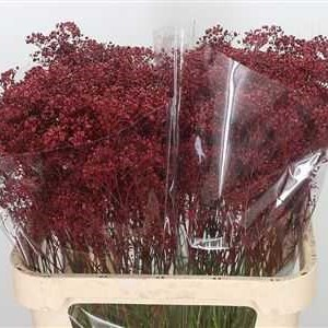 GYPSOPHILA DYED BURGUNDY