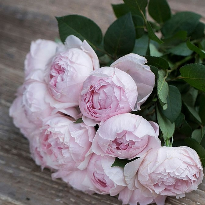 From Rijnsburg Auction Rose Peony Pink (scented Garden Rose)