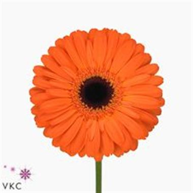 Gerbera Applause
