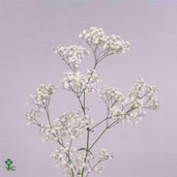 Gypsophila new love