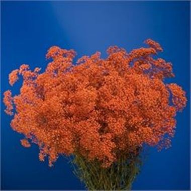 Gypsophila Dyed Orange