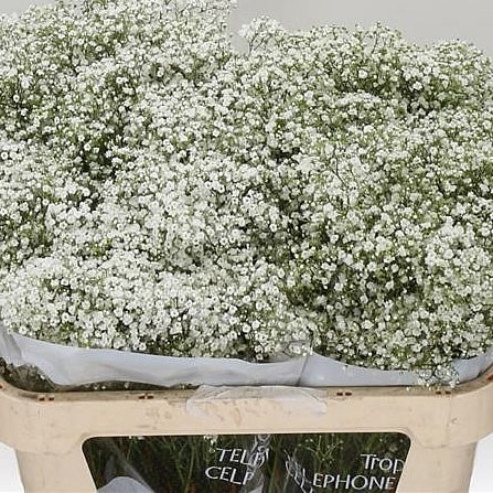 GYPSOPHILA MILLION STARS