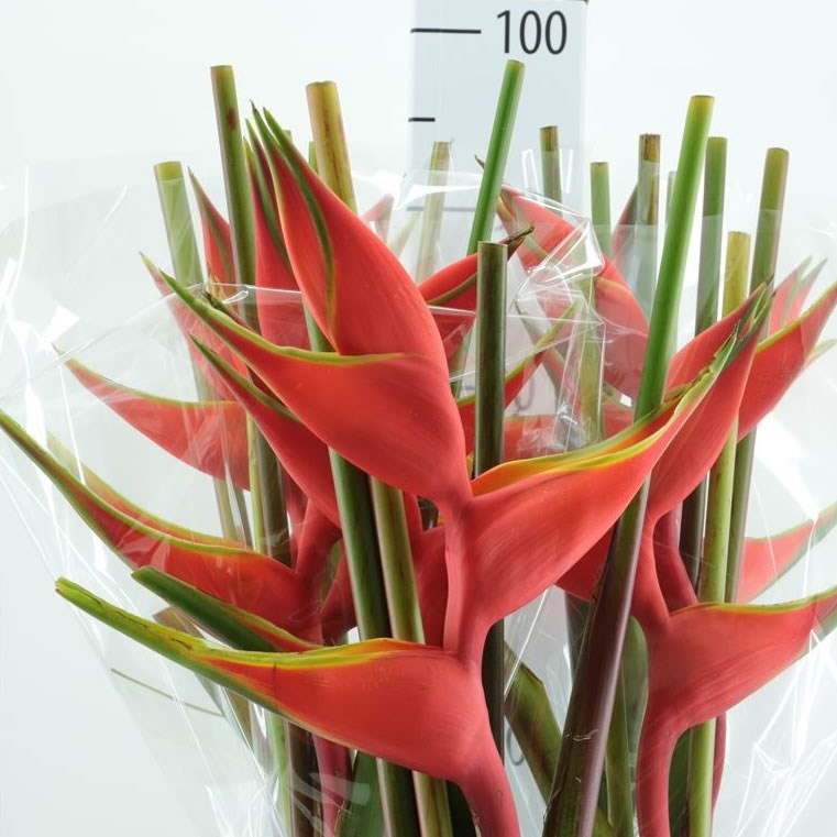 Heliconia Bihai (3 bracts/stem)