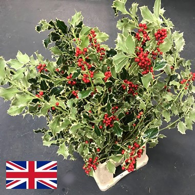 Holly - Variegated & Berries
