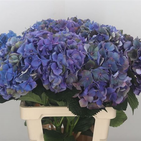 Hydrangea Glowing Alps Classic Purple