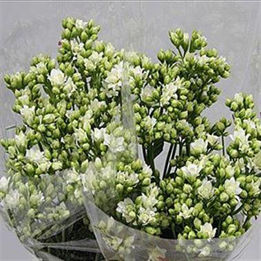 Kalanchoe white meadow 40cm wholesale dutch flowers florist kalanchoe white meadow mightylinksfo