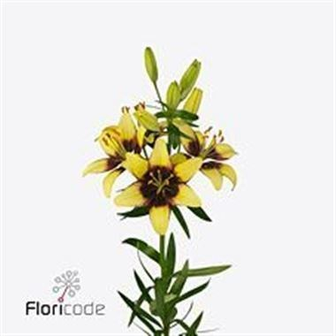 LILY ASIATIC LAT YELLOW