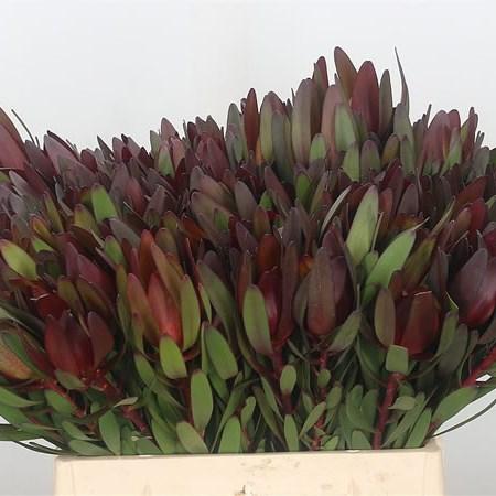 Leucadendron Safari Sunset 40cm Wholesale Dutch Flowers