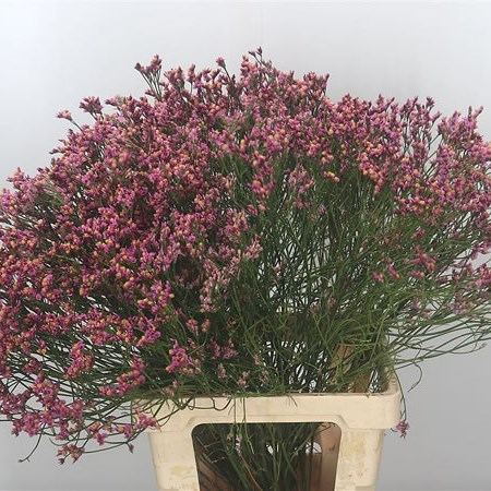 Limonium Princess Diamond