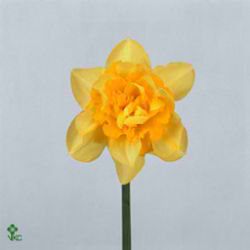 Narcissus Double - Dick Wilden