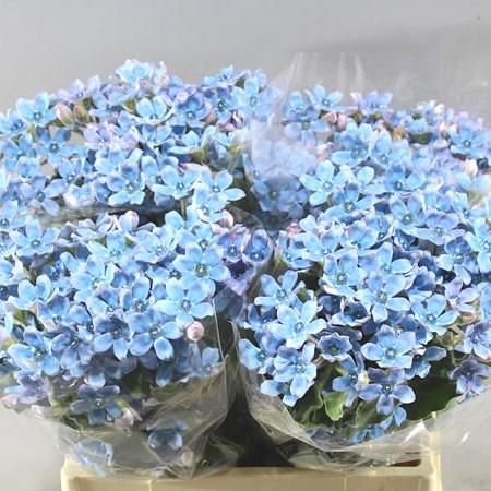 OXYPETALUM BRIDAL VICTORIA 40cm | Wholesale Dutch Flowers & Florist Supplies UK