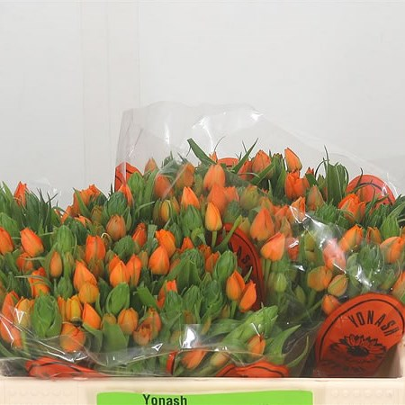 Ornithogalum Dubium Sunshine Orange