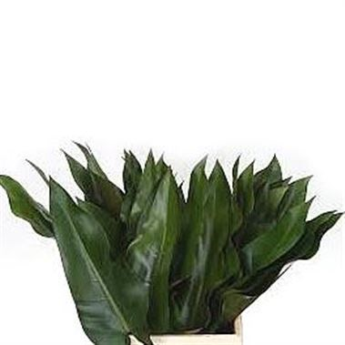 PHILODENDRON LISA