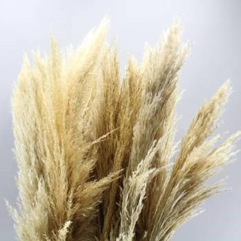 Cortaderia Pampas Grass (Dried)