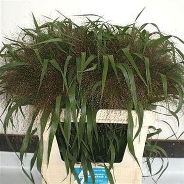Panicum Firework Grass 70cm | Wholesale Dutch Flowers