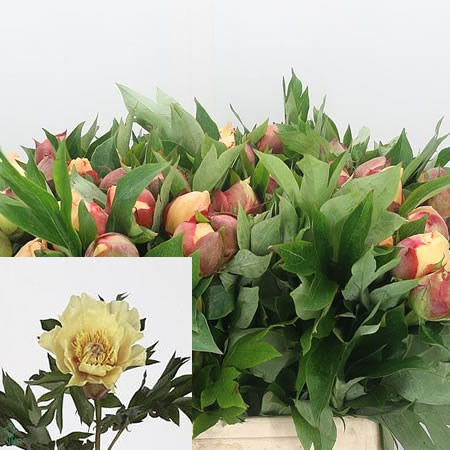 Peony Garden Treasure 40cm Wholesale Dutch Flowers Florist