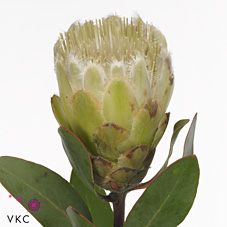 Protea Little Lady White