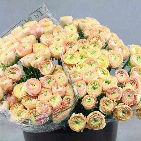 Ranunculus Cloony Blushing Pascal 40cm Wholesale Dutch Flowers Uk