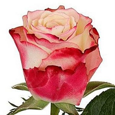 ROSE ADVANCE SWEETNESS