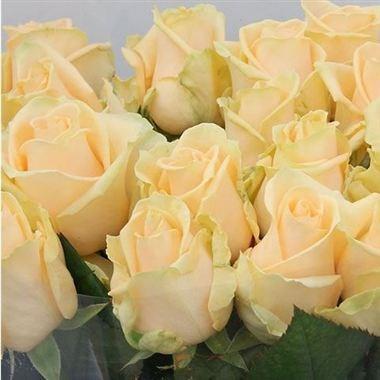 Rose Peach Avalanche 50cm Wholesale Dutch Flowers Amp Florist Supplies Uk