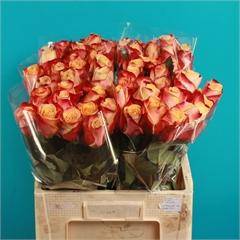Rose Pebbles 60cm   Wholesale Flowers & Florist Supplies UK