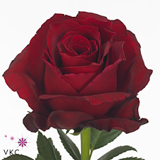 Rose Explorer 50cm | Wholesale Flowers & Florist Supplies UK